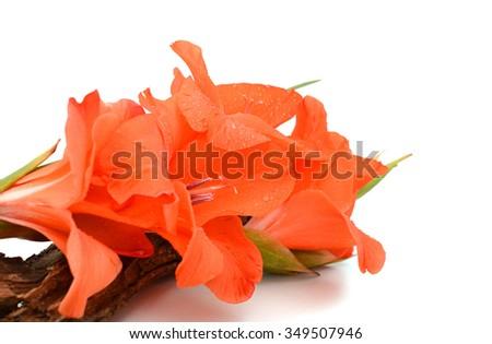 two beautiful orange lily flower isolated on white background - stock photo