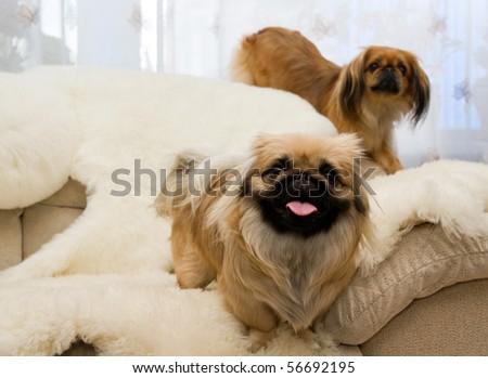 two beautiful pekingese on soft sofa - stock photo