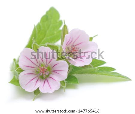 Two beautiful pink flowers, isolated on white.