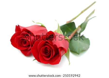 two beautiful red roses isolated on white background  - stock photo