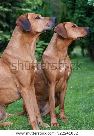 Two beautiful Rhodesian Ridgebacks sitting together side by side in the garden outside. They are looking cute straight to the leader and are waiting for a treat. It is an African purebred hound dog.