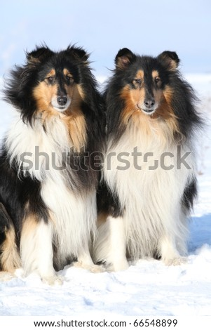 Two Beautiful Scotch Collie in winter - stock photo