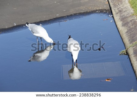 Two  beautiful seagulls  seabirds of the family Laridae in the sub-order Lari  reflected in the  puddle is enjoying a cool sip of water  in the parking area of the park on a sunny summer afternoon. - stock photo