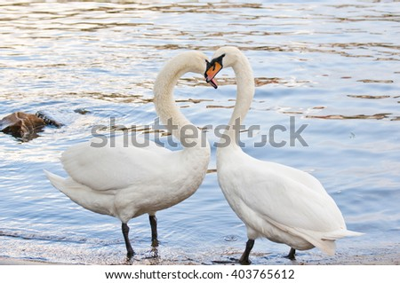 Two beautiful swan standing on the bank of the river, the silhouette of the heart - stock photo