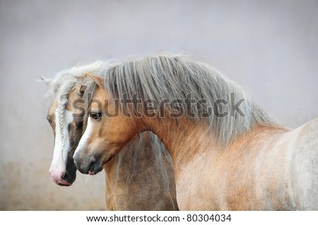 two beautiful welsh ponies - stock photo