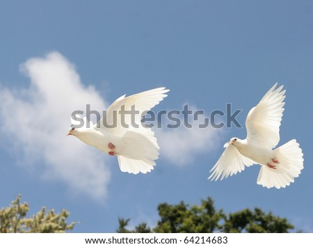 Two beautiful white doves in flight - stock photo