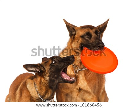 two Belgian shepherds plays with a disk frisbee isolate on a white - stock photo