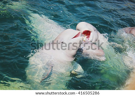 Two beluga whales swimming in the blue sea. - stock photo