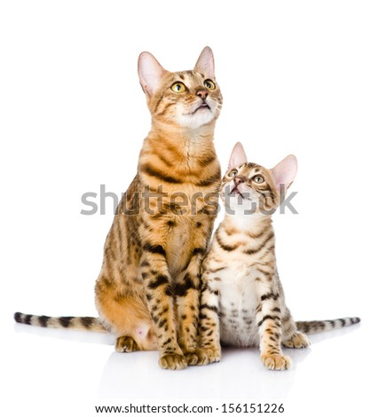 two bengal cats. mother cat and cub looking up. isolated on white background - stock photo