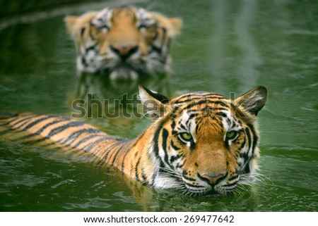 Two Bengal Tiger swimming only head on the water - stock photo