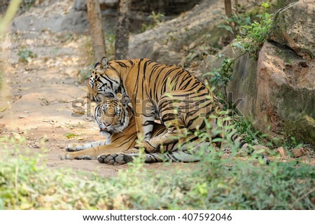 Two bengal tigers - stock photo