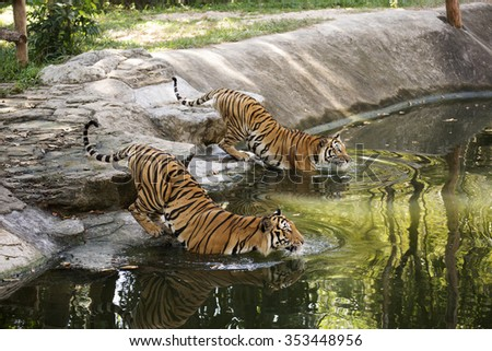 Two bengal tigers walking in the pond - stock photo
