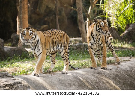 Two bengal tigers walking near the floor - stock photo