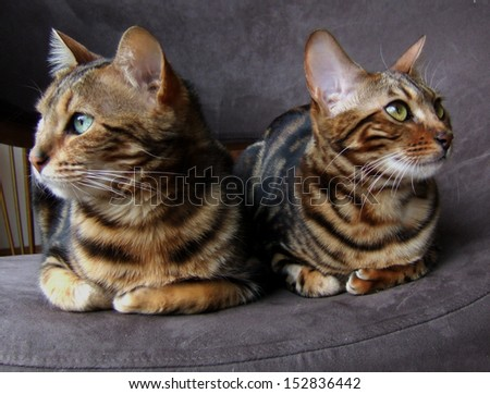 Two bengals cats sitting next to each other looking opposite sides - stock photo