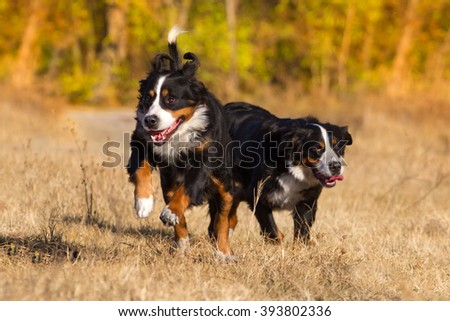 Two bernese dog run - stock photo