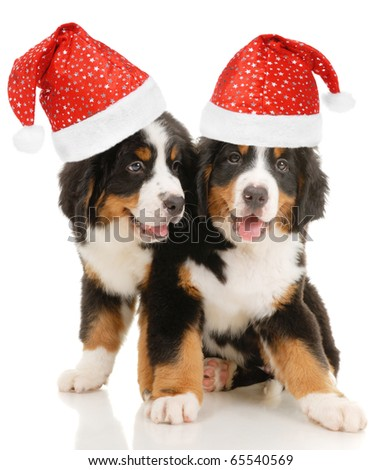 Two bernese sennenhund puppies with christmas decorations on a white background - stock photo