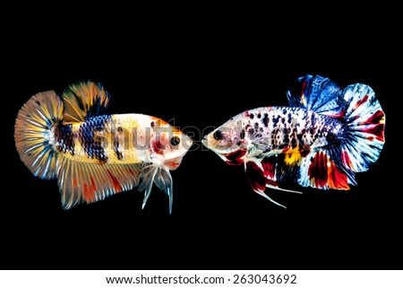 Two betta fish on the black background. - stock photo