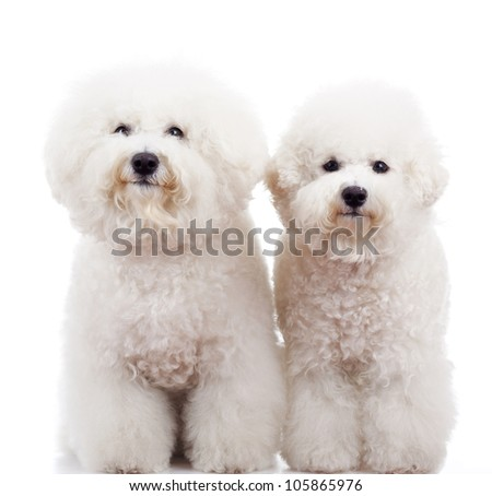 two bichon frise puppy dogs standing and looking at the camera on white background - stock photo