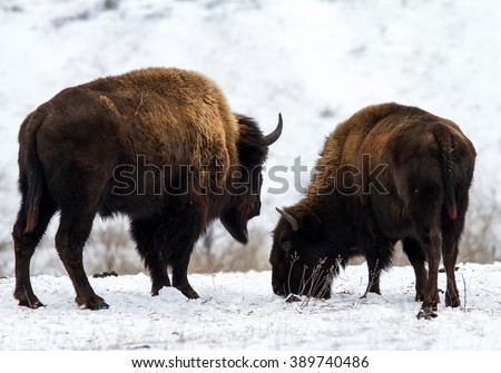 Two big American bison (bison bison) on the snow. The pair of American bison walking in the snow-covered steppe. A couple of American bison in winter. - stock photo