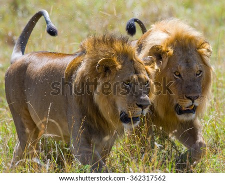 Two big male lions on the hunt. National Park. Kenya. Tanzania. Masai Mara. Serengeti. An excellent illustration. - stock photo