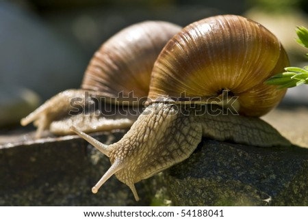 Two big snail on a rock - stock photo