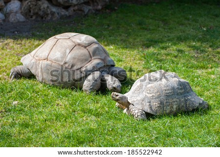 Two big turtles rest on the ground - stock photo