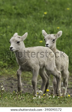 Two Bighorn Sheep Lambs in Spring