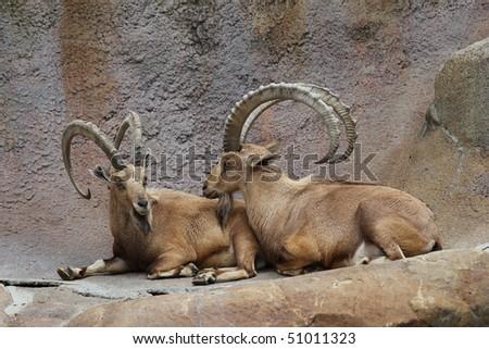 Two Bighorn Sheep Ram - stock photo