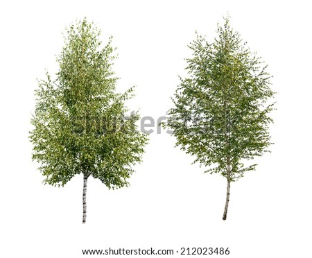 two birch tree isolated  - stock photo