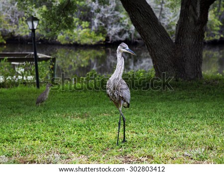 Two birds . Great blue heron and chick night heron. Compare big and small - stock photo