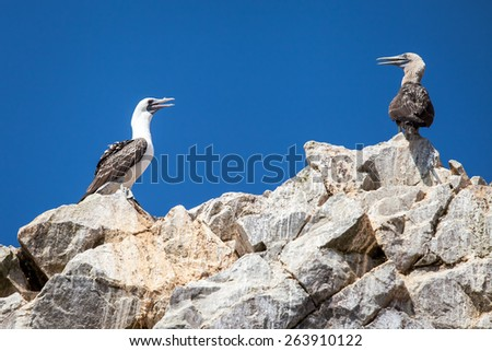 Two birds on the rocks in Ballestas island national park, Peru. Blue sky background - stock photo
