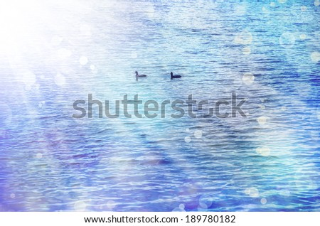 Two birds on the water, mallard duck couple. Nature background - stock photo
