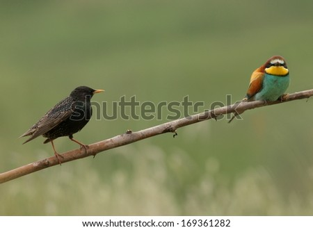 Two birds, starling and bee-eater perched on a twig - stock photo