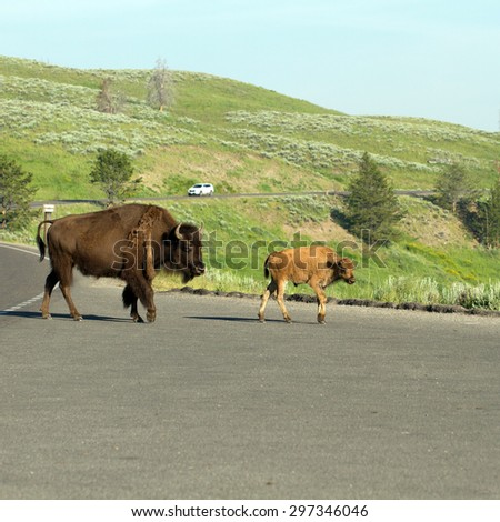 Two Bison on the roadway in Hayden Valley in Yellowstone National Park - stock photo