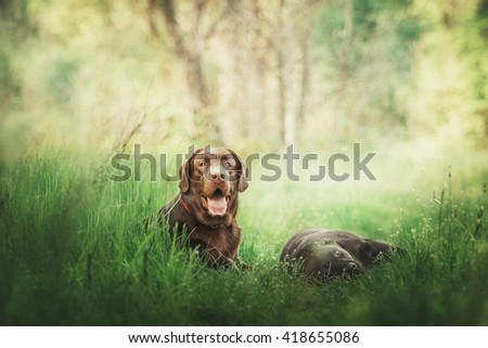 Two black and chocolate labrador retriever dogs on green grass. Dog outdoor - stock photo