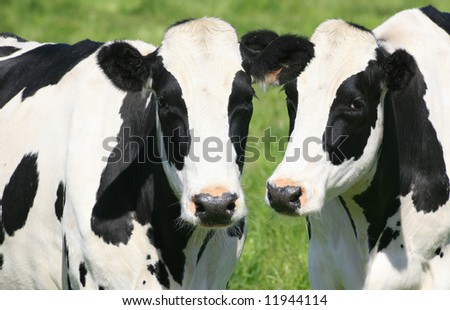 Two black and white cows in a green meadow, close up, farming, agricultural theme