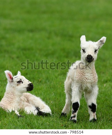 Two black and white spotted new born lambs in a field. - stock photo