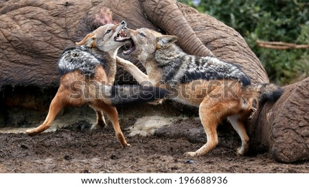Two black backed jackals fighting over the carcass of a dead elephant - stock photo