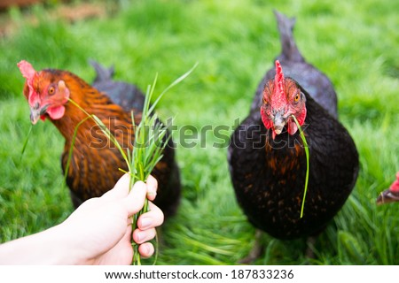 Two Black Chickens Being Fed Fresh Green Grass - stock photo