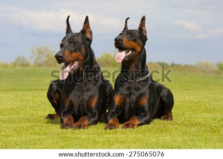 two black dobermans are laying on the grass - stock photo
