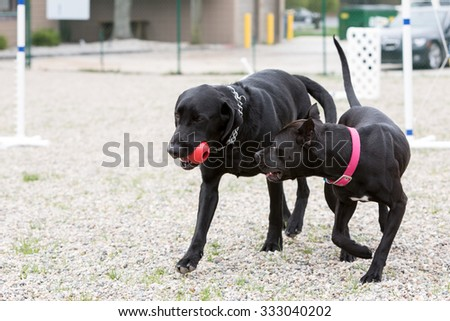 Two black dogs running and playing