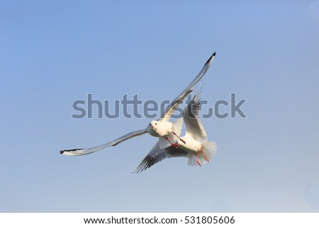 Two black-headed Gull are   flying in the sky