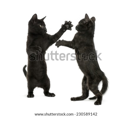 Two black kittens fighting - stock photo