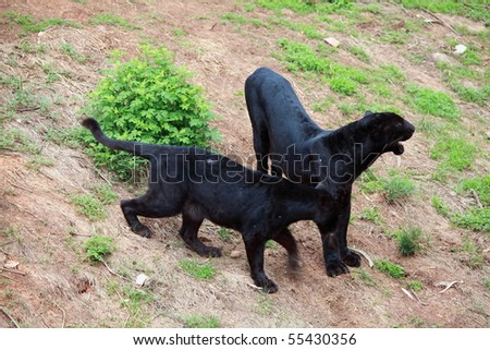 Two Black Leopard - stock photo