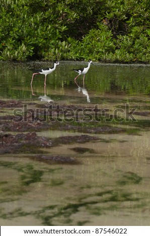 two Black-necked Stilt (Himantopus mexicanus) birds in a tropical lake in Antigua, Caribbean - stock photo