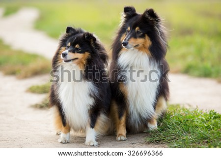 Two black Sheltie dog breed sitting in the background of green field - stock photo