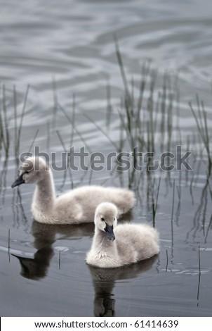 Two black swan cygnets - stock photo