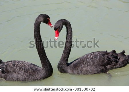 Two black swans creating a heart shape - stock photo