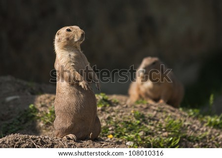 Two black-tailed prairie dogs in their home area. - stock photo