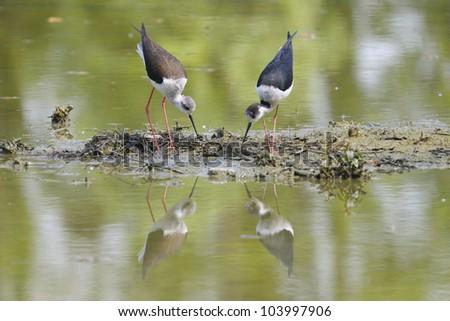 Two Black-winged Stilt, Common Stilt, or Pied Stilt (Himantopus himantopus) - stock photo